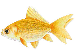 goldfishsmall