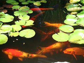 Fish backyard aquaponics for Koi aquaponics