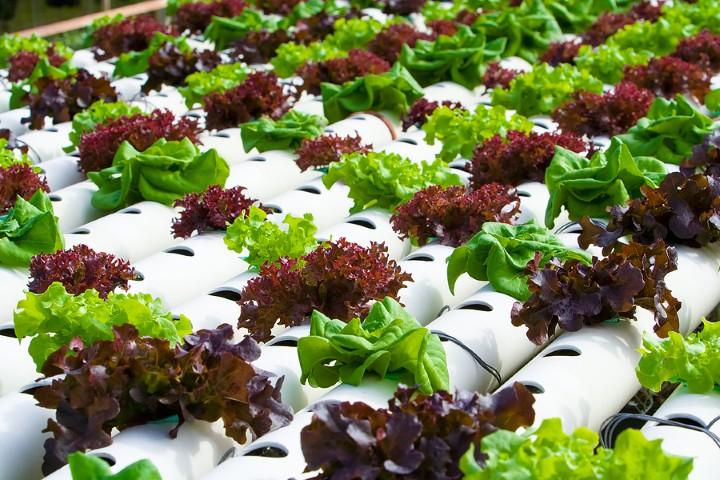Sistem for aquaponic aquaponics vegetables hydroponics for Hydroponics and fish