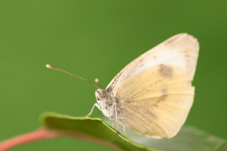 Cabbage White Butterfly Backyard Aquaponics