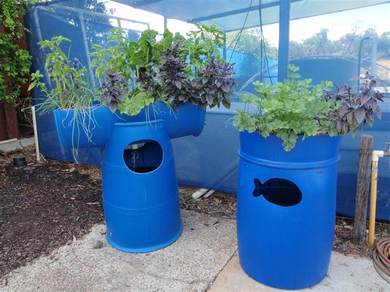 Backyard Aquaponics Fish : Barrel Aquaponic Systems  Backyard Aquaponics
